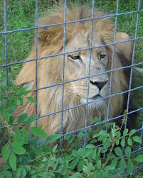 big cat caging