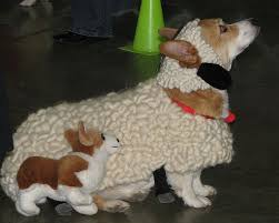 Halloween Sheep Costume 25 Corgi Costume Ideas Corgi Puppies Corgi