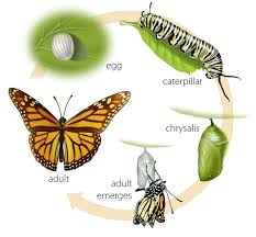 the cycle of a butterfly