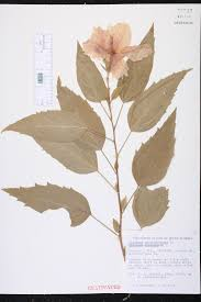 Which State Has A Hibiscus by Hibiscus Rosa Sinensis Species Page Isb Atlas Of Florida Plants