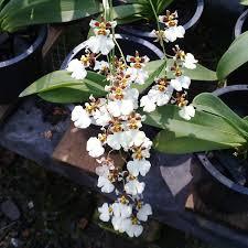 oncidium orchid oncidium white orchid plant buy online oncidium orchids