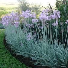 society garlic garden express