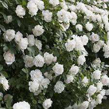Flowering Shrubs That Like Full Sun - 16 high impact fast growing shrubs grow beautifully