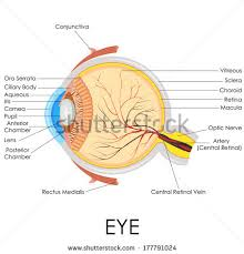 Eye Anatomy And Physiology Human Eye Anatomy Stock Images Royalty Free Images U0026 Vectors
