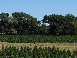 wonderland christmas tree farm