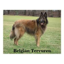belgian sheepdog canada belgian shepherd gifts on zazzle