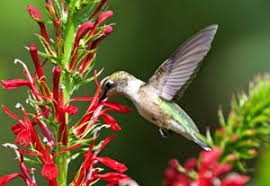 Hummingbird Flowers Hummingbird Gardening Plants Perennials For Hummingbirds Lobelia