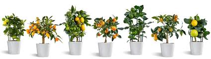 citrina miniature citrus trees decorative and delicious