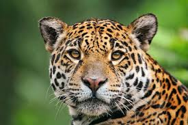 Tropical Dry Forest Animals And Plants - jaguar animal one of the largest cats in the world u2022 rainforest