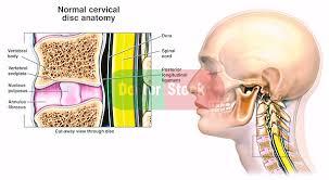Anatomy Of Vertebral Body Normal Anatomy Of The Cervical Disc Doctor Stock