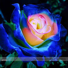roses flowers aliexpress buy blue pink yellow bush flower seeds