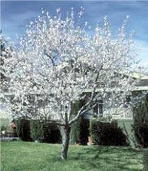 s hardy almond tree on the tree guide at arborday org