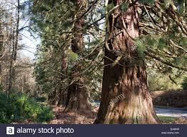 californian redwood wellingtonia trees sequoiadendron giganteum