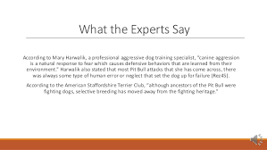 america pit bull terrier club the american pit bull terrier