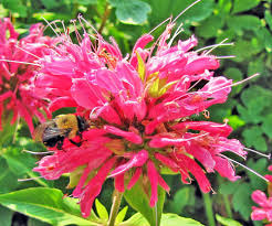 Flower Balm - bee balms plant care and collection of varieties garden org