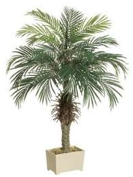 large sylvester date palm tree sylvester 8ft ct new
