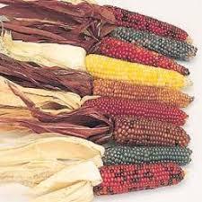 zea mays ornamental corn at hazzard s seeds