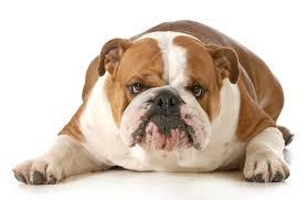 afghan hound breeders qld british bulldog breeders australia british bulldog info u0026 puppies