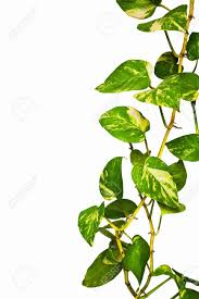 green climber plant isolate on white background stock photo