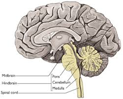Part Of Brain That Controls Arousal Medfriendly Medical Blog Vital Signs And The Brain