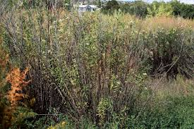 vascular plants of the gila wilderness vascular plants of the gila wilderness baccharis salicifolia