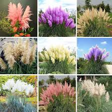 pas grass seed patio and garden potted ornamental plants new