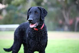 dogs with curly hair and floppy ears curly coated retriever dog breed information pictures