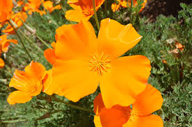 wordless wednesday california poppy simple sojourns