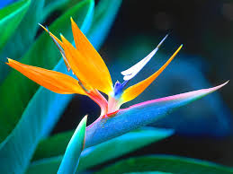 bird of paradise flower about bird of paradise bloomnation