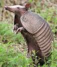 Armadillos - Little Armored Animals | Animal Pictures and Facts ... factzoo.com