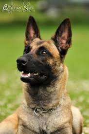 belgian shepherd special forces everyone wants this belgian malinois puppy things for my wall