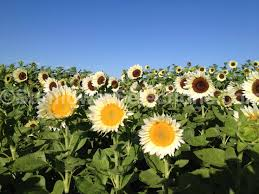sunflower pictures grow sunflowers procut garden ornamentals sunflowerselections