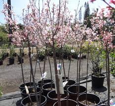 cherry trees u s japanese gardens