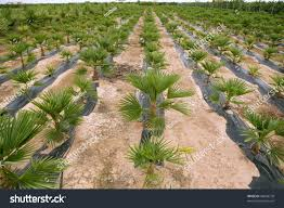 agriculture ornamental palm trees rows plantation stock photo