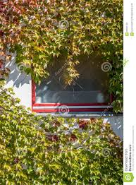 climbing plant on a window stock photo image 60541791