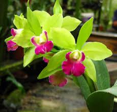 cattleya orchids cattleya orchids orquideas cattleya orchid