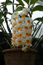 orchids care dendrobium orchid care