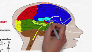 What Portion Of The Brain Controls Respiration Your Brain On Stress And Anxiety Youtube