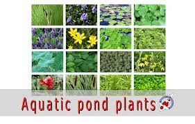 aquatic pond plants for sale japanese koi importer show