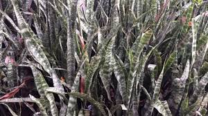 what is a mother in law unit snake plant mother in law u0027s tongue youtube