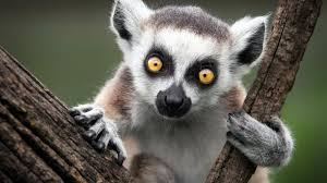 Lemur Meme - above static lemur memes imgflip