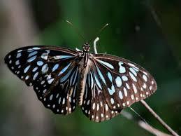 blue black butterfly photo