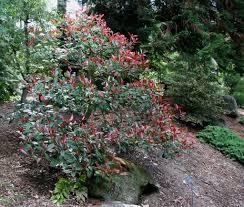 how to grow photinia shrubs