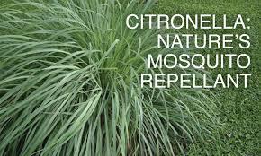 healthy foods u0026 herbal medicines anti mosquito herbs