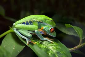 how tree frogs do it