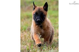 belgian malinois puppies for sale 2016 view topic plz delete this chicken smoothie
