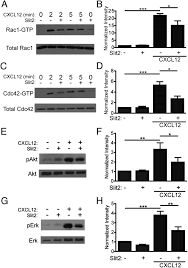 the neurorepellent slit2 inhibits postadhesion stabilization of