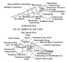 Calcaneus Anatomy Anatomy