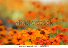 Yellow Orange Flowers - orange flower stock images royalty free images u0026 vectors