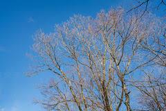 beautiful leafless tree stock image image of details 40383551